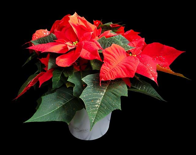Stella Di Natale Fiore Cure.Stella Di Natale Qualche Consiglio Per Prendersene Cura Al Meglio
